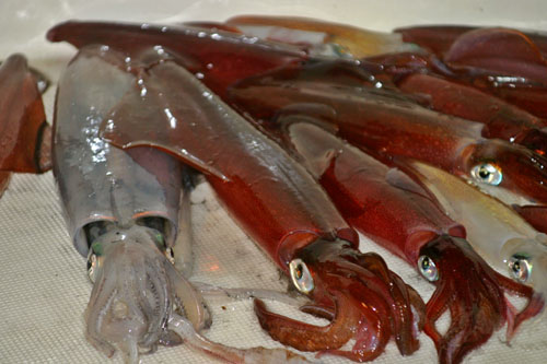 RIBA - MORSKA i SLATKOVODNA: vrste, zanimljivosti, pitanja, ribolov, recepti za pripremu... - Page 3 22_lignje_1